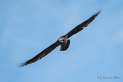 Gypaetus barbatus/Gypate barbu (choucas_star) Tags: birds animals wildlife oiseaux rapaces barbatus gypatebarbu gypaetus