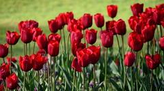 Red Tulips (Keith Mac Uidhir  (Thanks for 3.5m views)) Tags: ireland red dublin flores flower green fleur fleurs petals spring tulips blumen irland tulip dublino irlanda irlande flore bloem ierland irska dubln irlandia lirlanda irsko  airija irlanti  cng  iirimaa ha     rorszg         rlnd