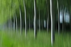 IIIII (Martin PEREZ 68) Tags: blur color verde green countryside poplar blurred vert campo campagne couleur flou peuplier borroso peupleraie