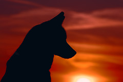 Aurora Silhouette (Cruzin Canines Photography) Tags: california sunset portrait sky dog pet pets sun sunlight color dogs nature animal animals silhouette canon outside mammal outdoors husky pretty sundown naturallight canine domestic telephoto siberianhusky aurora tamron bakersfield goldenhour alaskanhusky hartpark domesticanimal kerncounty 5ds canon5ds eos5ds tamron28300mmf3563divcpzd canoneos5ds