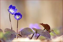 (evisdotter) Tags: flowers macro nature spring bokeh blommor blsippor sooc anemonehepatica