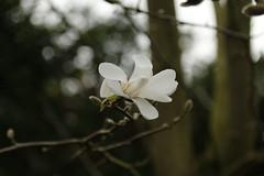 MAGNOLIA FLOWER (pearl.winch) Tags: tree magnolia 1243 sooc 21stmarch2016