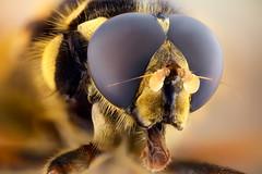 Studio stack: Temnostoma (johnhallmen) Tags: macro studio insect hoverfly syrphidae nikonpb6bellows canon5dmkii morfanon mitutoyomplanapo5014