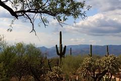 Saguaro Natl Park  1288pr2 (MReents) Tags: arizona saguaronationalpark