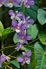 Panasonic FZ1000, Orchids, Botanical Gardens, Montral, 24 April 2016 (8) (proacguy1) Tags: orchids montral botanicalgardens panasonicfz1000 24april2016