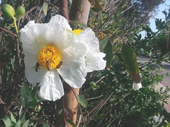 20160430_084355 (Laura) Tags: bees fone matilijapoppies