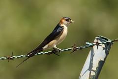 Red-rumped Swallow - Hirundo daurica (Roger Wasley) Tags: portugal birds europe european algarve moncarapacho hirundodaurica casarosa redrompedswallow
