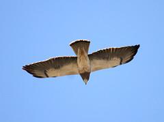 Swainson's Hawk, Buteo swainsoni (bruce_aird) Tags: