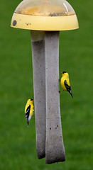Double Trouble (PullingDad) Tags: green bird yellow wisconsin gold spring backyard nikon goldfinch feeder finch d7200