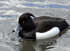 Tufted5103 (Russellings) Tags: duck tufted kelseypark april2016