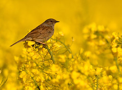Dunnock (Severnrover) Tags: seed dunnock sparrow hedge oil bid