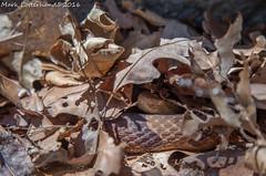 Northern Copperhead (Lotterhand) Tags: massachusetts copperhead