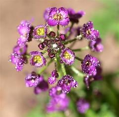 Jewels (Kazooze) Tags: plant flower macro nature sunshine garden droplets bokeh outdoor soil waterdrops alyssum magentaflowers sigma105mmmacrolens