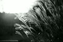SunSet (Shoji Kawabata. a.k.a. strange_ojisan) Tags: new bw plants white black film monochrome japan analog 35mm lens mono tokyo photo lomo lomography fuji bokeh neopan 100 zenit analogphotography acros photogrpahy analogphoto filmphotography  kenko filmphoto petzval kf1n