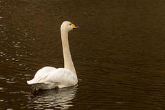 SLN_1602738 (zamon69) Tags: bird water animal se skne swan sweden vatten djur fgel svan whistlingswan skralid sngsvan whoopingswan