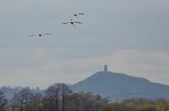 Catcott Lows-3657 (oldparson) Tags: crane glastonbury cranes tor somersetlevels catcott