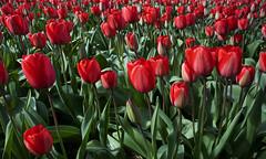 Red (Paul Rosenhart) Tags: tulips nederland thenetherlands bulbs bollen tulpen noordwijkerhout bollenveld d80 paulrosenhart