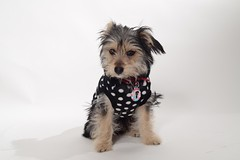 4 months old (Aartje_S) Tags: yorkie puppy puppies morkie