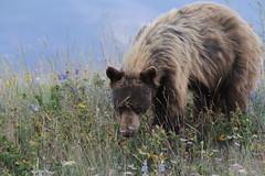 Black Bear (bbosica20) Tags: