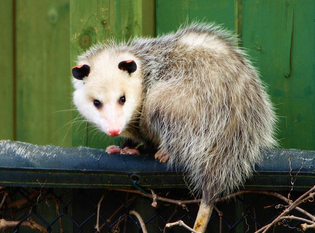 Virginia Opossum (Daniel Taieb) Tags: Possum Ontario Canada Nature Virginia Backyard  Opossum Wildlife