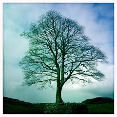 Locksley's Tree (_J @BRX) Tags: winter england tree wall northumberland hadrianswall iphone sycamoregap robinhoodprinceoftheives robinoflocksley march2013