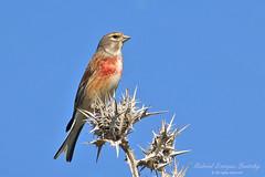 Common Linnet (Tevaironi) Tags: bird nature birds finch wildbirds cardueliscannabina commonlinnet israelibirds holylandbirds