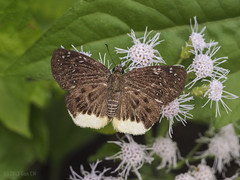 Mooreana trichoneura trichoneura, The Yellow Flat (Green Baron Pro) Tags: vacation butterfly malaysia smokehouse frasershill hesperiidae pyrginae 201512