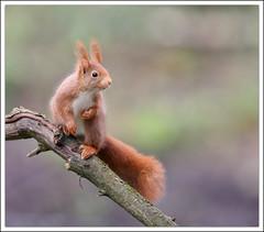 Ecureuil roux (guiguid45) Tags: nature nikon squirrel animaux écureuil loiret mammifères 500mmf4 d810 sauvge nureichhörnchen