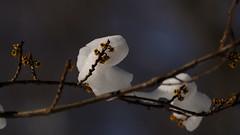 Witch-hazel Flower .......... (l_dewitt) Tags: winter witchhazel winterflower southernnewengland southeasternconnecticut earthnaturelife witchhazelflower