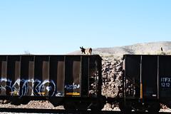 donkey above boxcar (EllenJo) Tags: railroad train donkeys january donkey az burro canonrebel boxcar freight hilltop digitalimage verdevalley 2016 clarkdalearizona ellenjo ellenjoroberts winterinarizona