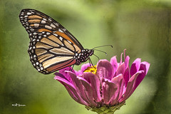 Stained Glass Wings (Nebswanny1) Tags: flower nature floral butterfly monarch zinnia monarchbutterfly jeffswanson