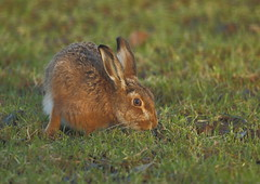 Brown Hare (Martial2010) Tags: brown canon scotland hare angus glen