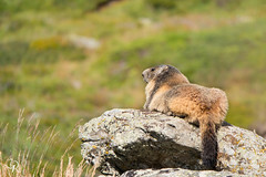 Marmot on a rock (rg.pictures) Tags: wild summer mountain france mountains alps cute green beautiful animal yellow mammal rodent wildlife woodchuck groundhog marmot