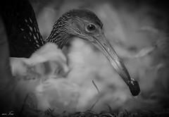 Limpkin (Aramus guarauna) (miTsu420) Tags: wild bird nature animal outdoors nikon wildlife crying trinidad trust fowl nikkor 70300mm limpkin wildfowltrust carrao courlan d5200