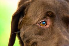 Little man the lab (rak104) Tags: life color dogs america puppy outside eyes nikon florida chocolatelab vision plantation labs dogpark bestfriend southflorida likeforliek