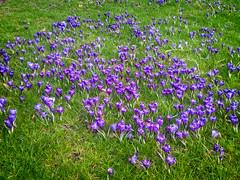Spring Crocuses in February (garryknight) Tags: mobile nokia phone londonlightroom lumia930 ononephoto10