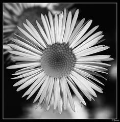 Small flower N&B (thierry.genevois) Tags: macro fleur is usm f28l ef100mm fleurnoiretblanc
