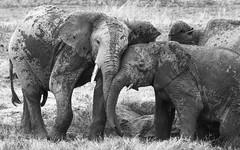 Fondling Ellies (AnyMotion) Tags: africa travel bw nature animal animals tanzania tiere reisen wildlife natur afrika sw elephants savannah africanelephant elefanten mudbath tansania 2015 fondling savanne loxodontaafricana serengetinationalpark anymotion afrikanischerelefant blackandwhire schlammbad 7d2 socialbehaviour sozialverhalten seronerariver canoneos7dmarkii schmusend