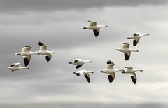 Snow Geese_6294 (No Rules Digital Images) Tags: newmexico geese newmexicowildlife