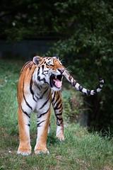 Amur tiger (Cloudtail the Snow Leopard) Tags: animal cat munich mnchen mammal zoo big feline tiger katze tierpark tigris tier gros amur hellabrunn amurtiger sibirian panthera raub sugetier sibirischer