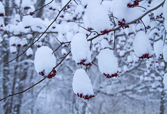 Frosting (Matt Champlin) Tags: winter snow cold tree home nature canon perfect snowy snowstorm calming peaceful calm cny upstatenewyork fingerlakes frosted lakeeffect 2016 skaneateles lakeeffectsnow