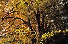 Herbstliche Buchenpracht am Chasseral (bolliger51) Tags: buchenwald herbst natur bern che wald baum chasseral indiansummer herbstwald herbstlaub buche fagussylvatica herbstfarben nods herbstfrbung fagetum schweizsuissesvizzeraswitzerland