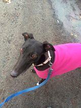 Millie (MerlinAnimalRescue) Tags: rescue dog greyhound animal wales north merlin