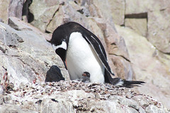 0V5A7078 (leiadaniellewilliams) Tags: travel penguin antarctica chick quark naturalhabitatadventures oceandiamond