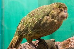 Kakapo (Stuffed) (tewahipounamu) Tags: newzealand teanau southland neuseeland fiordland kakapo