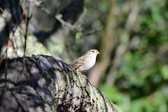 Taking In The Sun II (rschnaible) Tags: life light wild tree bird backyard branch outdoor song wildlife