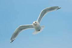 Thayer's Gull (martytdx) Tags: birds adult lifelist gull nj february atlanticocean larus pelagic laridae winterplumage larusglaucoides pelagictrip larusglaucoideskumlieni icelandgullkumliens paulagic gullkumliensicelandgull