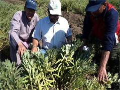 Picture48 (ICARDA-Science for Better Livelihoods in Dry Areas) Tags: farmers northafrica climatechange mena pulses ifad nutrition resilience drylands icarda incomes westasia croprotation seedsystems conservationagriculture euifad wheatlegumecroppingsystems