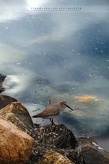 Riflessi (swaily ◘ Claudio Parente) Tags: bird lago nikon uccelli acqua d300 nikond300 swaily