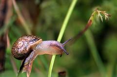 Climbing stems (TJ Gehling) Tags: garden snail climbing helix elcerrito communitygarden mollusca gastropoda cornu helicidae helixaspersa gardensnail fairmontpark cornuaspersum
